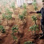 Legumes produzidos em Marte são seguros para comer