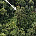 Cientistas descobrem a árvore mais alta do mundo